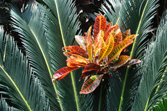 Cycad with red leaf Stock Photography