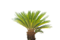 Cycad revoluta  on a white background. Stock Image