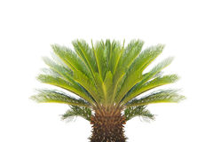 Cycad revoluta  on a white background. Royalty Free Stock Photo
