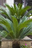 Cycad sago,Cycas revoluta. In spring Stock Photos