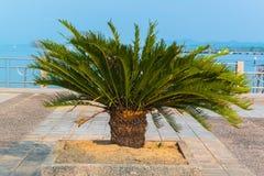 Cycad scientific name is Cycas circinalis L , Royalty Free Stock Photos