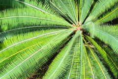 Cycad scientific name is Cycas circinalis L. Stock Photography