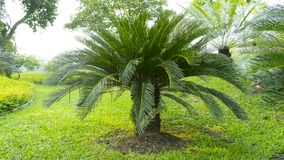 Cycad scientific name is Cycas circinalis L. Families Cycadaceae. In a park royalty free stock photography