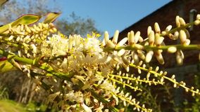 Brazilian cycad plant blossom stock photo