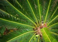 Cycad tree Stock Photography