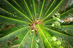 Cycad tree Stock Images
