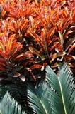 Cycadaceae leaf and red leaf Stock Photos