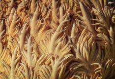 Cycadaceae Revoluta Fotografia Stock