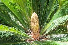 Cycadaceae Revoluta Immagini Stock Libere da Diritti