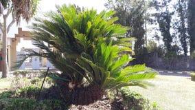 Cycadidae. Cycadophyta division spermatophyta entry tangier Stock Photos