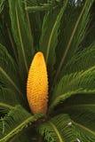 Cycado flowers Stock Image