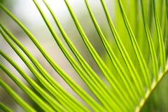 cycadormbunksblad Royaltyfria Bilder
