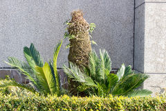 Cycads Stock Photos