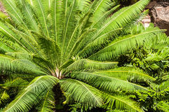 Cycads Royalty Free Stock Images