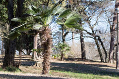 Cycads growing in a Japanese park Royalty Free Stock Photos