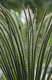 Cycads Royalty Free Stock Photo