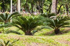 The cycads plant Stock Photography