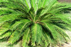 Cycads Stock Photo