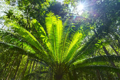 Cycads tree forest soon welcome sunshine Royalty Free Stock Images
