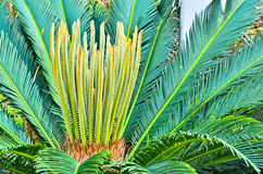 The cycads. Royalty Free Stock Photos