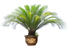 Cycas. A cycas with white background stock photos