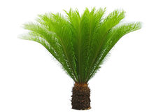 Cycas Royalty Free Stock Photos
