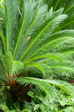 Cycas royalty free stock images