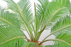 Free Cycas Stock Photos - 6156353