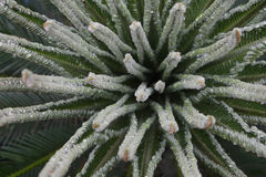 Cycas budding Stock Photo