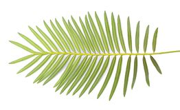 Cycas chamaoensis is named after the only known habitat of this species, stock photography