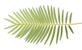 Cycas chamaoensis wymienia po jedynego znać siedliska ten gatunki, fotografia stock