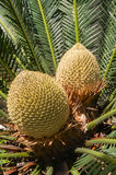 Cycas Stock Photography