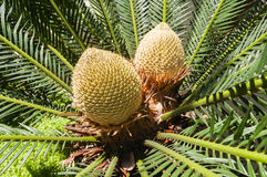 Cycas. The crown or cycas of a sago palm tree Royalty Free Stock Photo