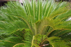 Cycas cycad tropical palm trees in the yard Stock Photography