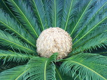 Cycas flower Stock Images