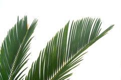 cycas isolerad leaf Royaltyfri Bild