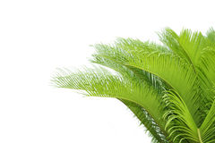 Cycas leaf. Leaves of  cycas  tree isolated on white background Royalty Free Stock Photography