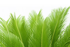 Cycas leaf. Leaves of  cycas  tree isolated on white Stock Images