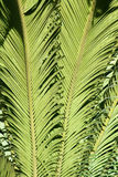 Cycas leaf. The close-up of Cycas leaf. Scientific name: Cycas revoluta Royalty Free Stock Photo