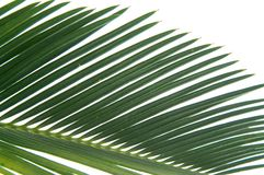 Cycas leaf detail. Cycas leaf isolated on white background Stock Photos