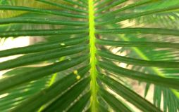 Cycas leaf wallpaper royalty free stock image