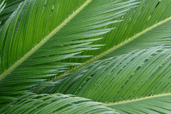 Cycas leaves. The close-up of cycas leaves Stock Images