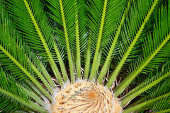 Cycas and Little Lyzard. Cycas close up with lyzard on the heart of the palm Stock Images