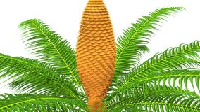 Cycas male plant Royalty Free Stock Image