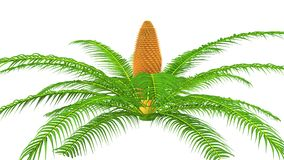 Cycas male plant Stock Photography