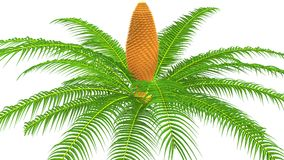 Cycas male plant Royalty Free Stock Photography