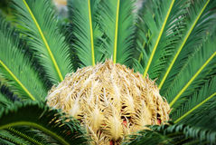 Cycas Palm Royalty Free Stock Images