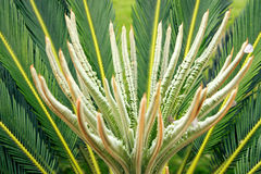 Cycas Palm Stock Images