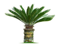 Cycas palm tree. Isolated on white background Stock Image