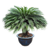 Cycas in the pottery urn. With white background Royalty Free Stock Photography